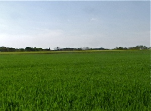 green wheatfield