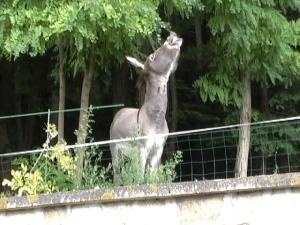 singing donkey