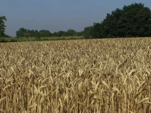 tighter wheatfield