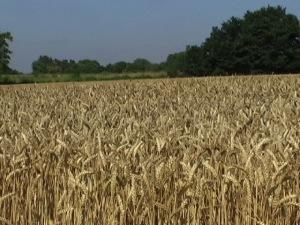 tighter wheatfield