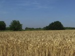 wheatfield without crows