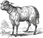 lamb-illustration_~923741